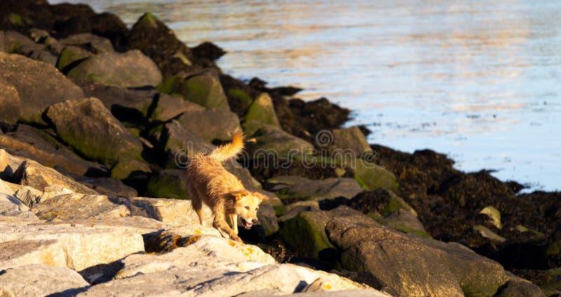 Funzionamenti felici del cane randagio lungo Rocky Shore fotografia stock libera da diritti