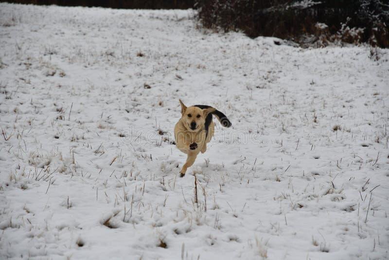 Funzionamento bianco del cane e saltare sulla neve nell'inverno immagini stock