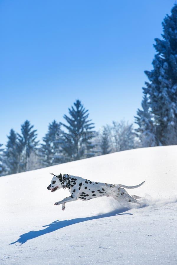 Funzionamento dalmata del cane e saltare nella neve fotografia stock