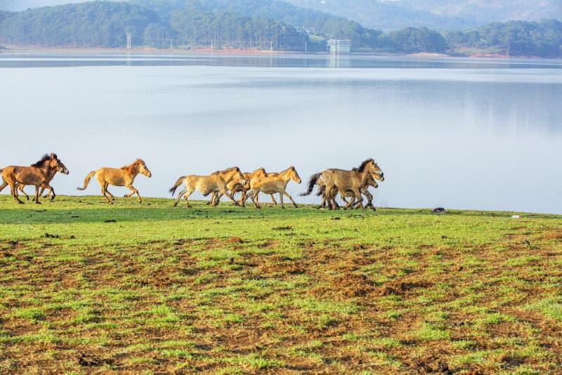 Funzionamento dei cavalli, riva del fiume di Suoi Vang immagini stock