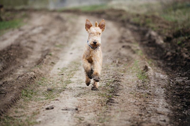 Funzionamento del cane bagnato e sporco lungo una strada campestre fotografia stock libera da diritti