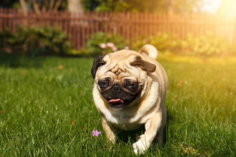 Funzionamento del cane del carlino immagini stock