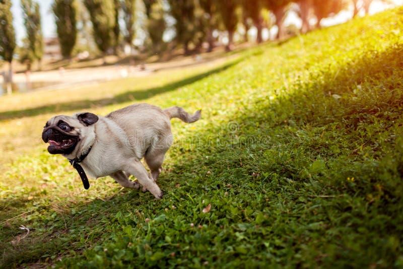 Funzionamento del cane del carlino nel parco di estate Cucciolo felice divertendosi gioco con il padrone fotografie stock