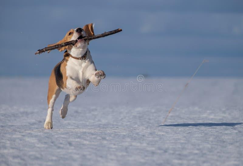 Funzionamento del cane del cane da lepre nella neve fotografia stock libera da diritti
