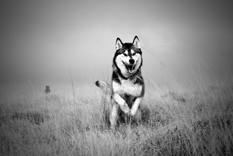 Funzionamento del cane del husky fotografie stock libere da diritti