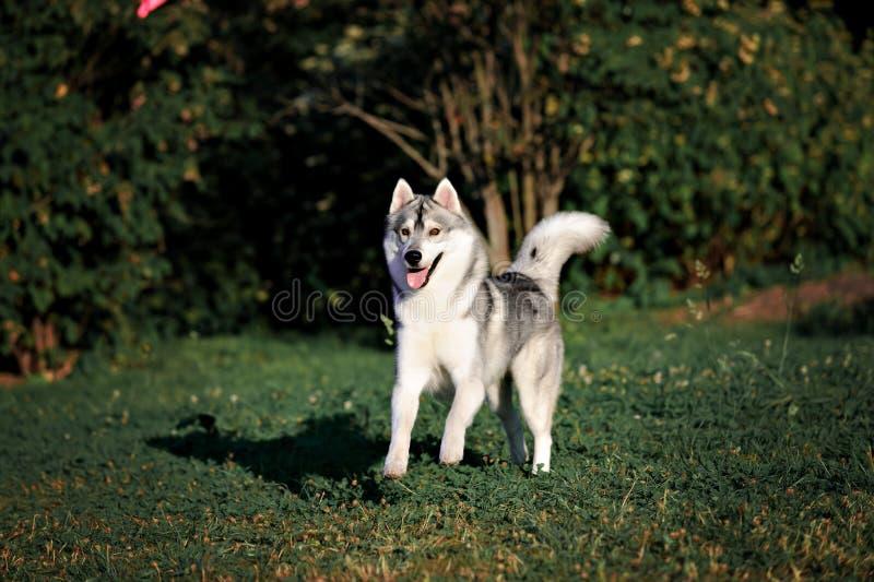 Funzionamento del cane del husky siberiano di estate fotografia stock