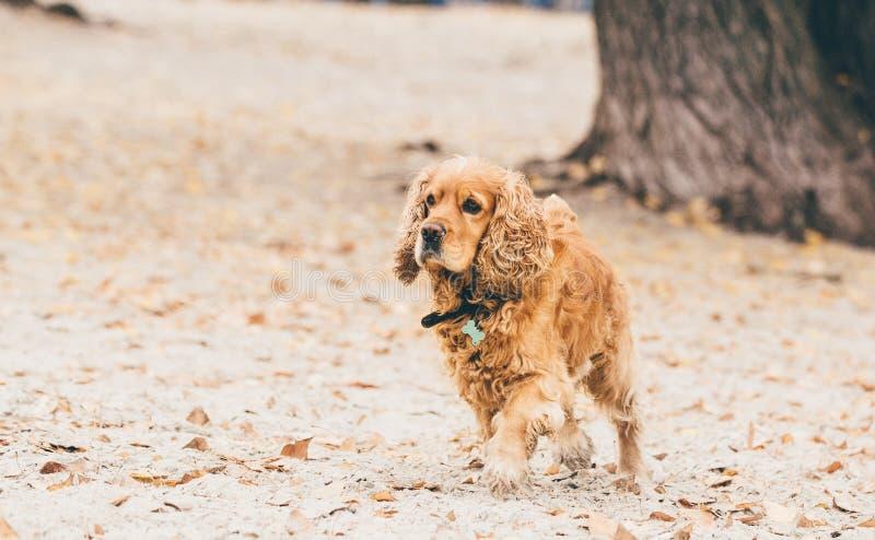 Funzionamento del cane di cocker spaniel di inglese sulla spiaggia fotografie stock libere da diritti