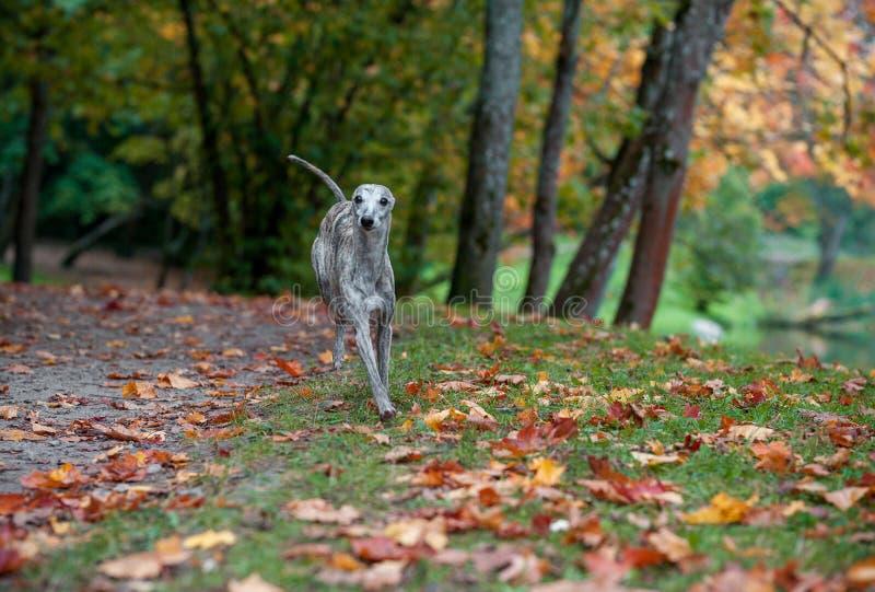 Funzionamento del cane di piccolo levriero inglese sul percorso foglie di autunno nel fondo fotografia stock