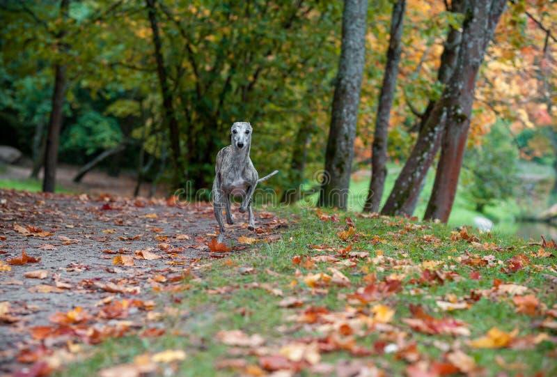 Funzionamento del cane di piccolo levriero inglese sul percorso foglie di autunno nel fondo fotografie stock libere da diritti