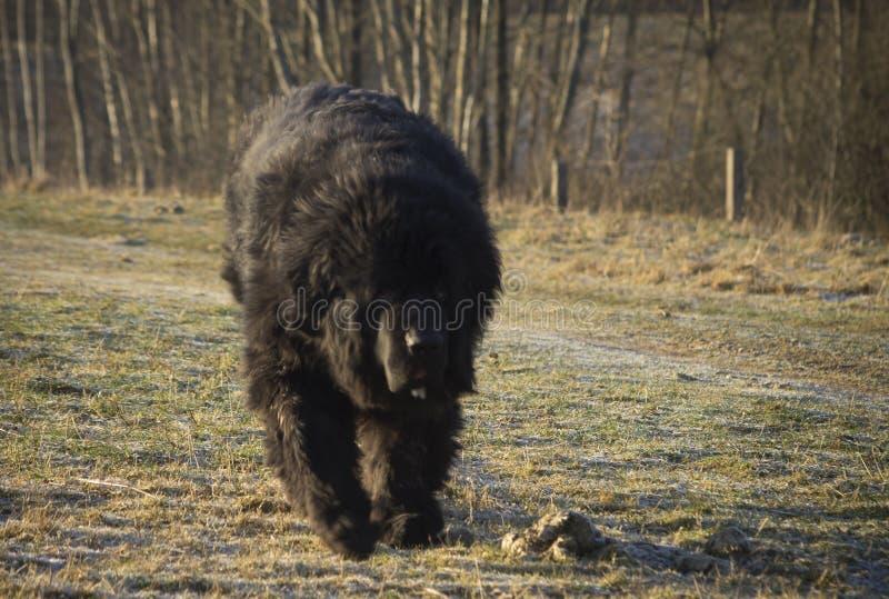 Funzionamento del cane di Terranova fotografia stock libera da diritti