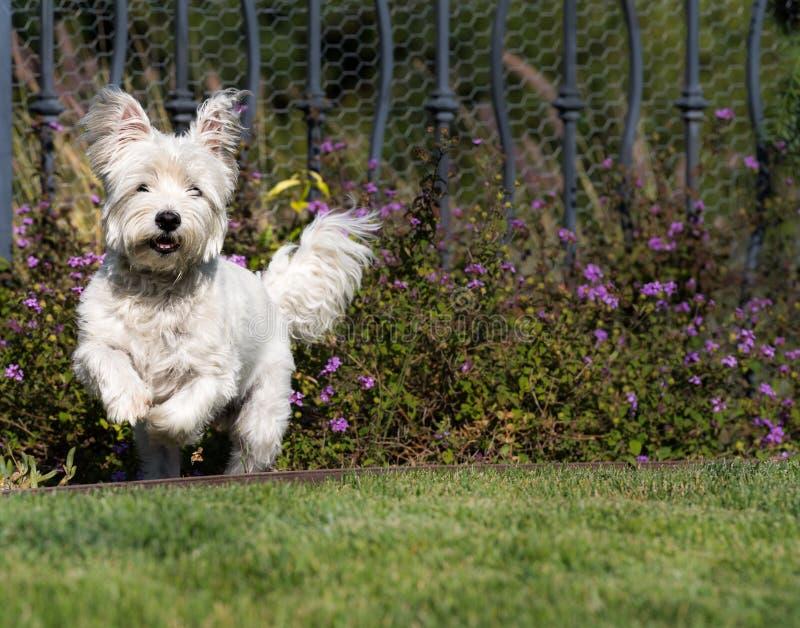 Funzionamento del cane di Westie, bianco ad ovest Terrier dell'abitante degli altipiani scozzesi immagine stock