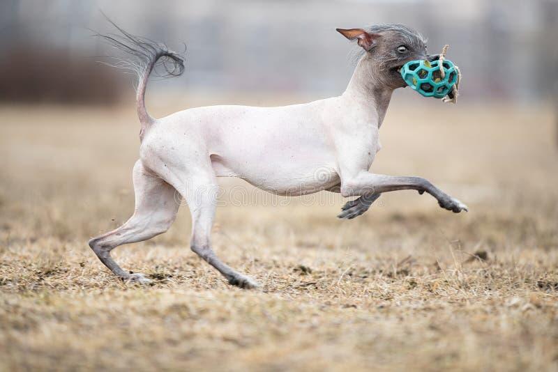 Funzionamento del cane e giocare nel parco Xoloitzcuintle - m. glabra immagini stock libere da diritti