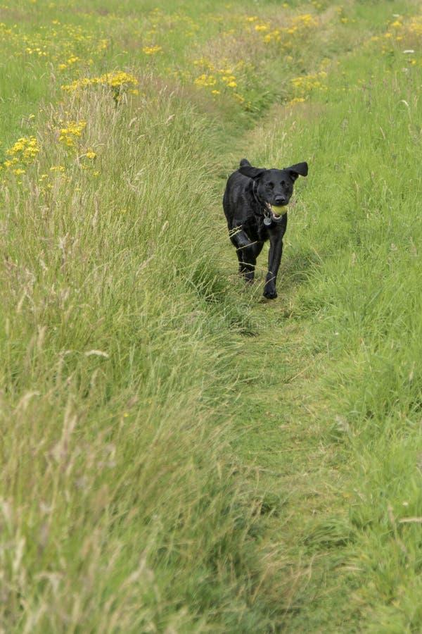 Funzionamento del cane nel campo con una palla immagini stock