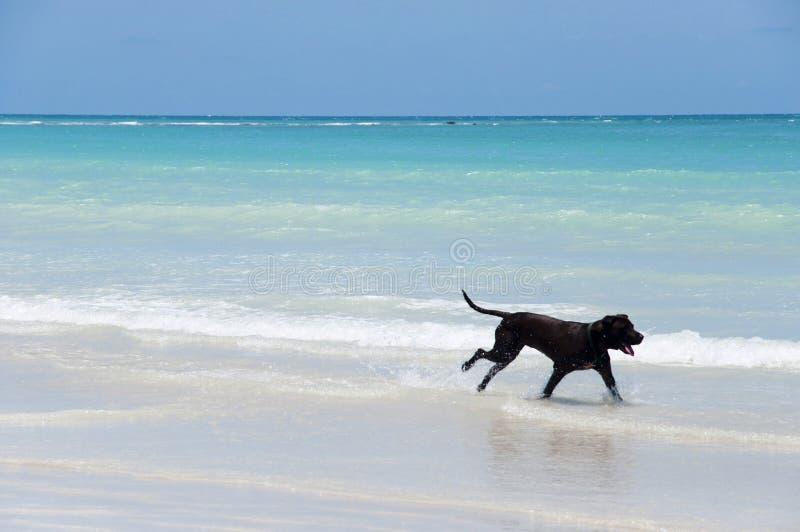Funzionamento del cane sulla spiaggia - Australia fotografie stock libere da diritti