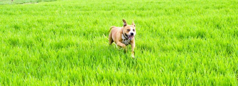 Funzionamento del cane del terrier di Staffordshire americano sul giacimento di grano immagini stock