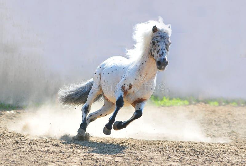 Funzionamento del cavallino di Appaloosa immagine stock