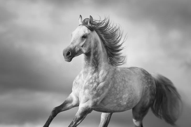Funzionamento del cavallo bianco fotografia stock