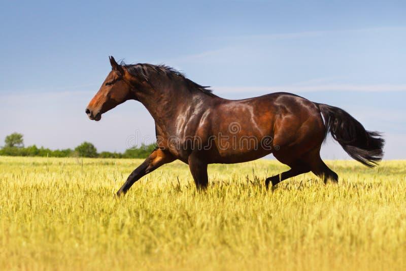 Funzionamento del cavallo di baia immagine stock