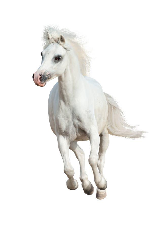 Funzionamento del cavallo isolato immagini stock libere da diritti