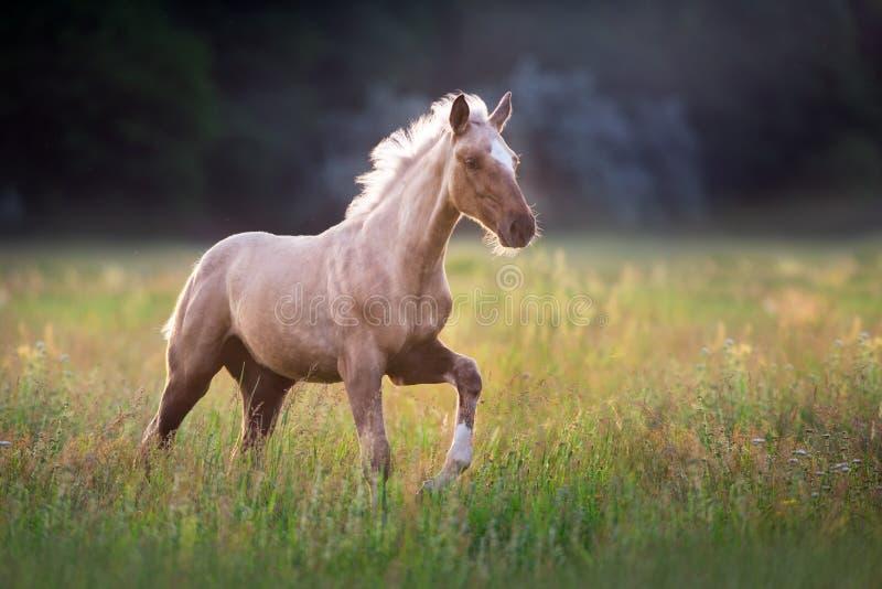 Funzionamento del cavallo del palomino fotografie stock