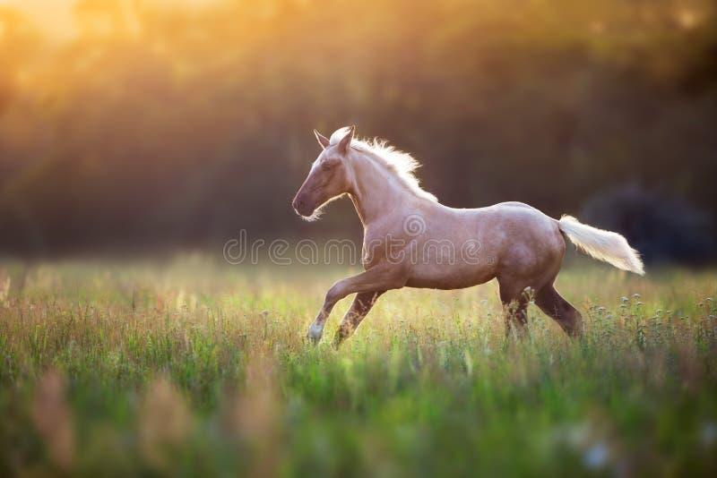 Funzionamento del cavallo del palomino immagini stock