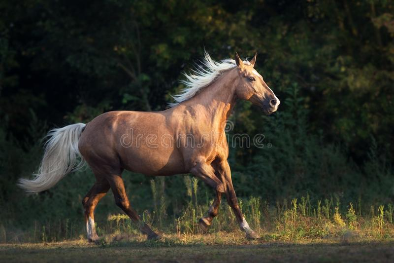 Funzionamento del cavallo del palomino fotografia stock