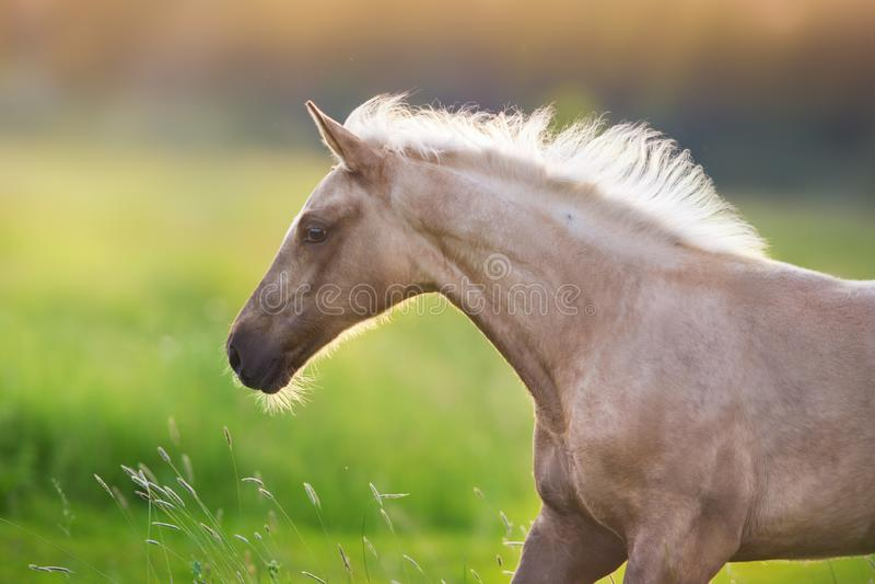 Funzionamento del cavallo del palomino immagine stock libera da diritti