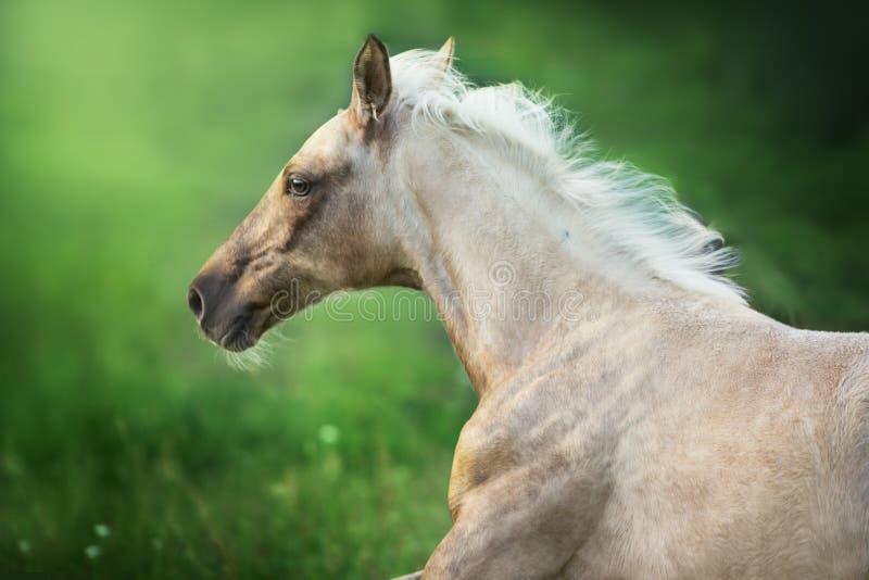 Funzionamento del cavallo del palomino immagine stock