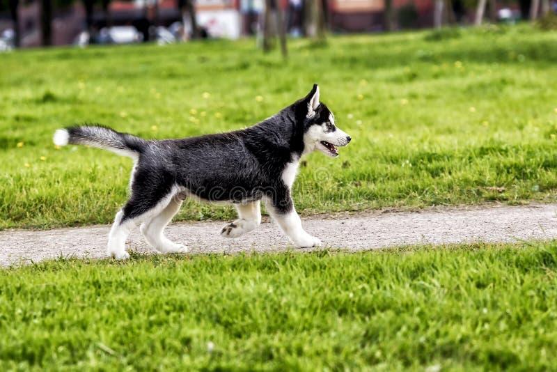 Funzionamento del cucciolo del husky sulla strada fotografia stock