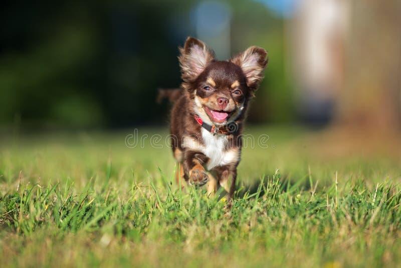 Funzionamento del cucciolo della chihuahua di Brown fotografia stock