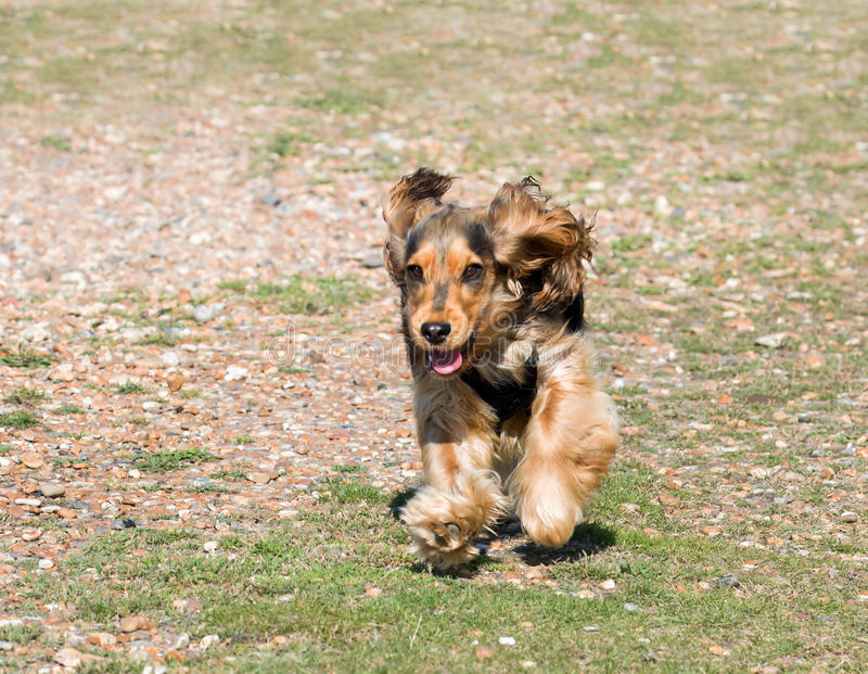 Funzionamento del cucciolo di cocker spaniel di inglese fotografia stock