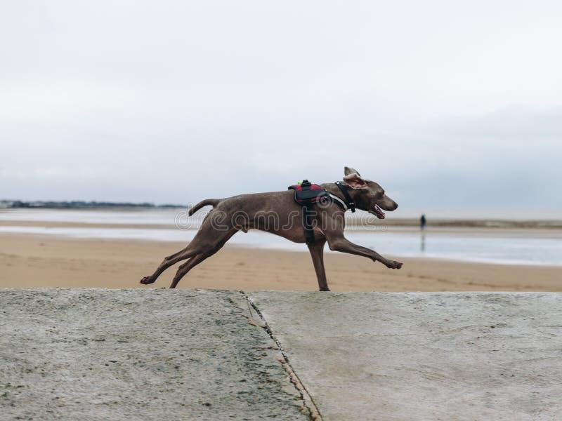 Funzionamento del documentalista del cane sulla spiaggia fotografia stock