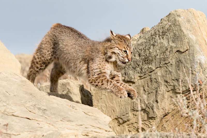 Funzionamento del gatto selvatico con i vantaggi immagine stock libera da diritti