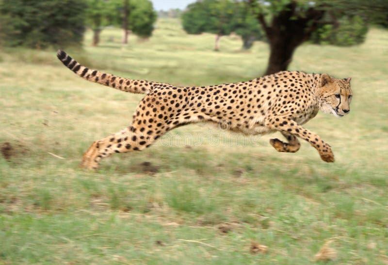 Funzionamento del ghepardo fotografia stock