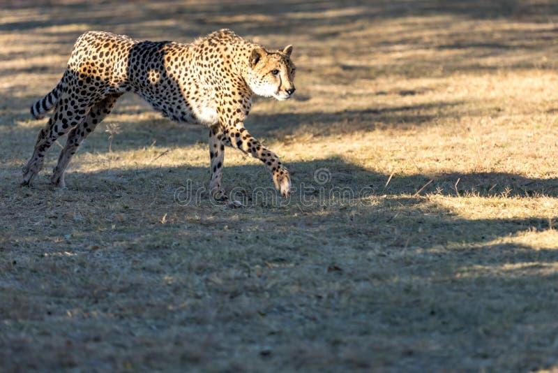 Funzionamento del ghepardo nel Sudafrica, jubatus di acinonyx fotografia stock libera da diritti