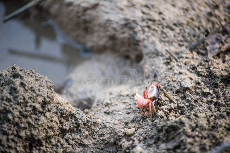 Funzionamento del granchio sulla sabbia fotografia stock libera da diritti
