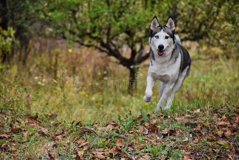 Funzionamento del husky nella foresta immagini stock libere da diritti