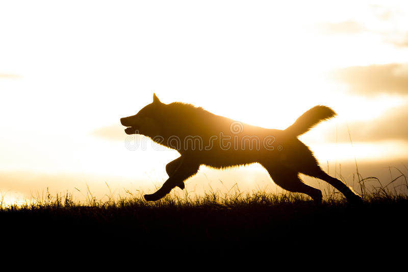 Funzionamento del lupo comune dopo gli alci al tramonto fotografia stock