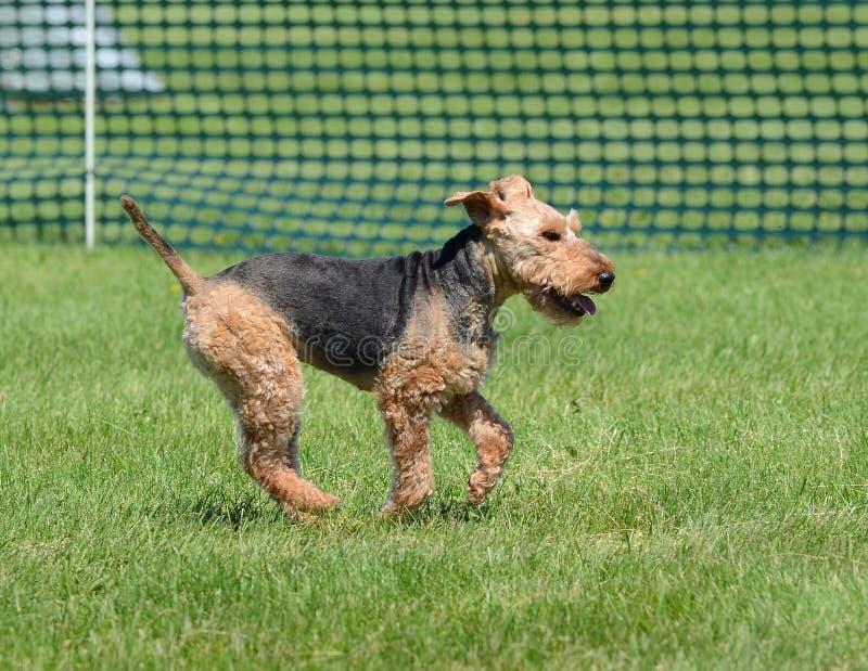 Funzionamento del Welsh terrier fotografia stock
