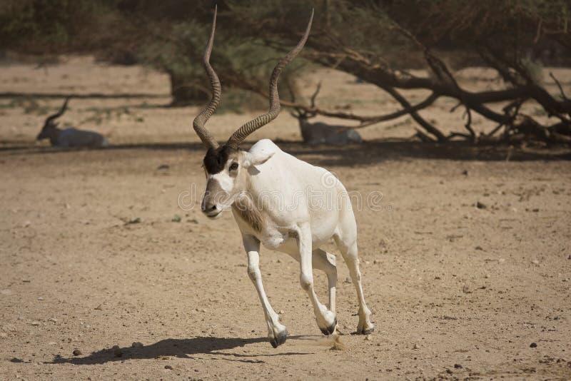 Funzionamento dell'antilope fotografie stock