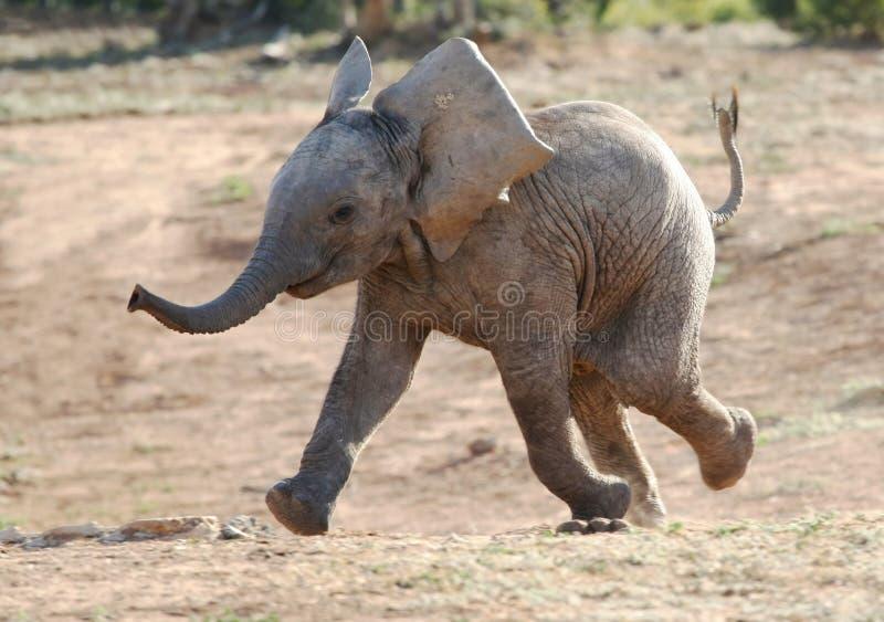 Funzionamento dell'elefante del bambino immagini stock libere da diritti