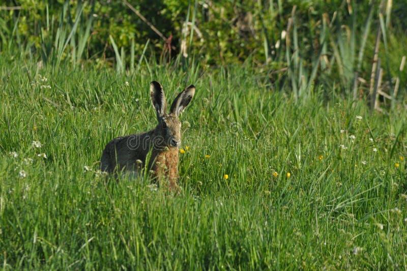 Funzionamento della lepre attraverso i campi ed i prati Fuga dal cacciatore Mammifero con le orecchie lunghe immagini stock libere da diritti
