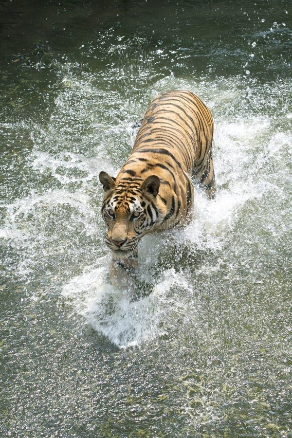 Funzionamento della tigre siberiana nell'acqua immagini stock libere da diritti