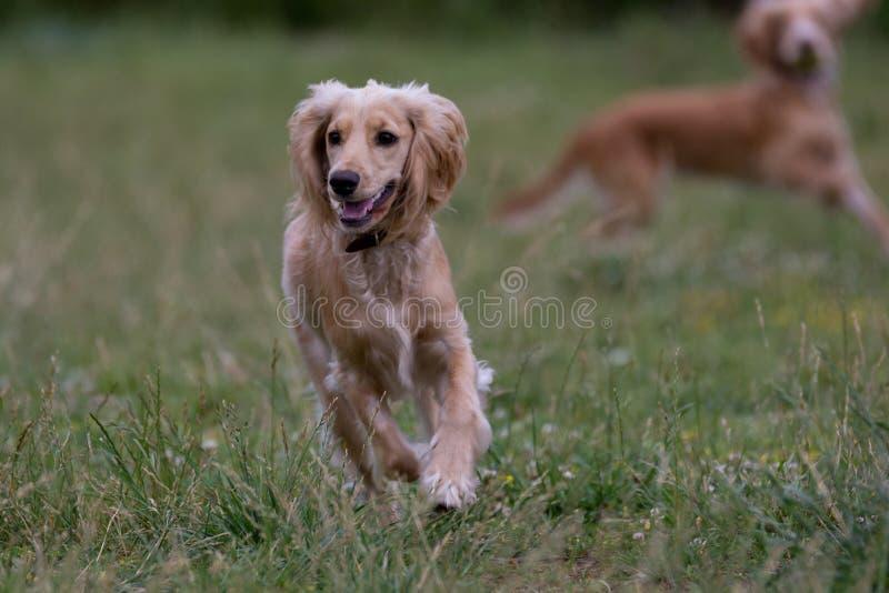 Funzionamento di cocker spaniel di inglese Fuoco selettivo sul cane fotografia stock libera da diritti