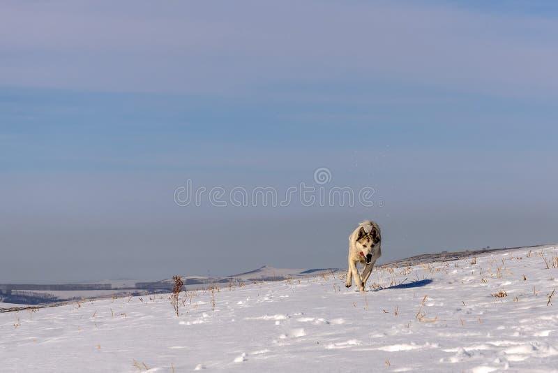 Funzionamento di inverno della neve della montagna del cane fotografia stock