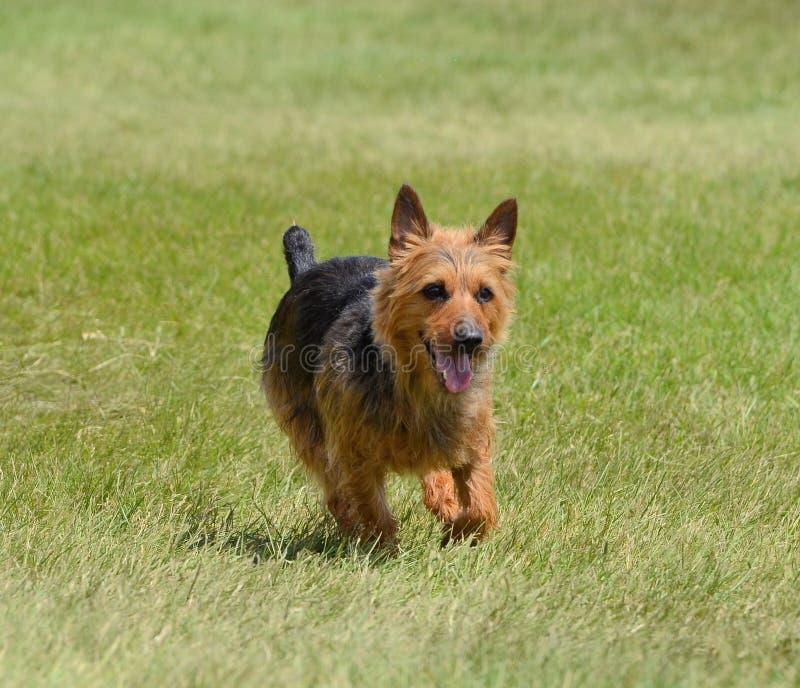 Funzionamento di Terrier australiano immagine stock