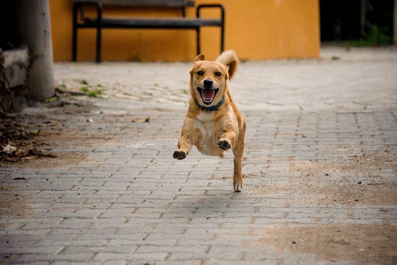Funzionamento domestico del cane di colore dello zenzero sul walkpath dell'asfalto fotografie stock