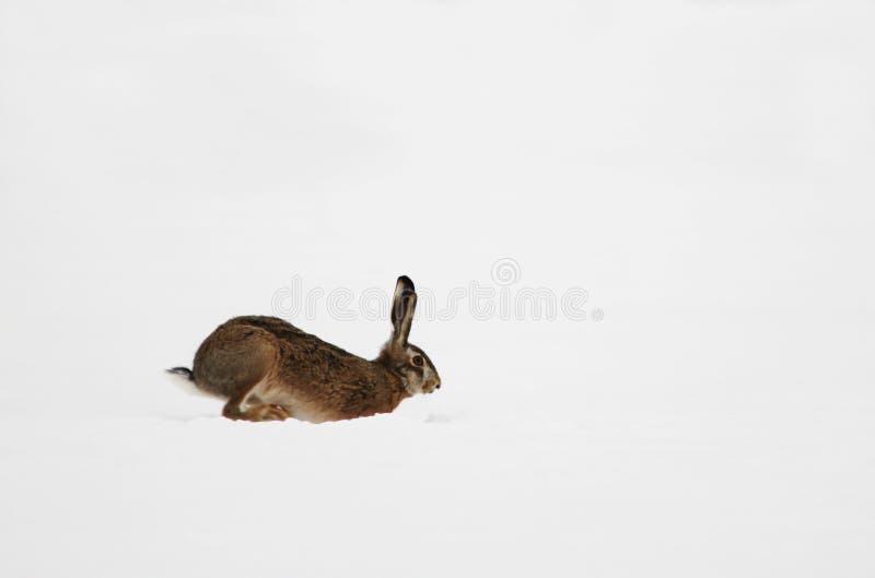 Funzionamento europeo o marrone di europaeus del lepus della lepre sulla neve immagine stock