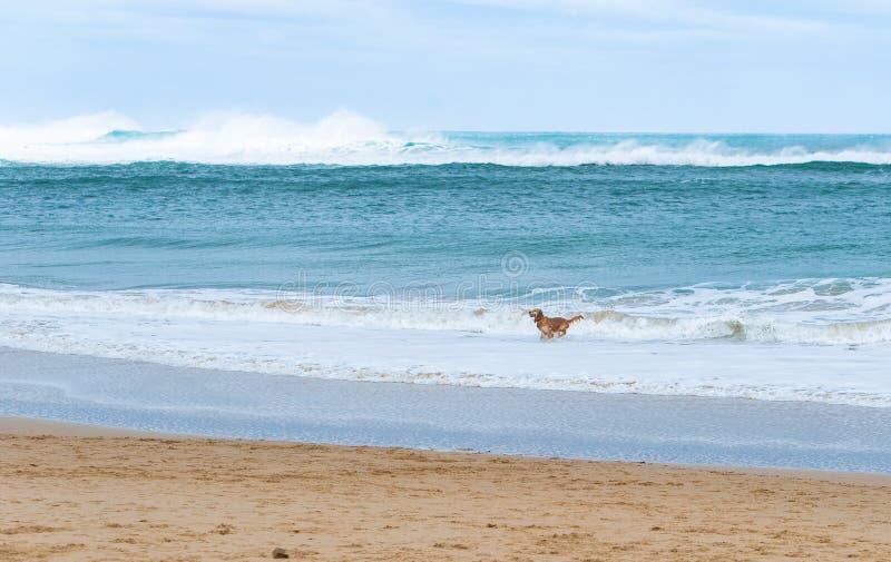 Funzionamento felice del cane lungo un bello mare del turchese della spiaggia sabbiosa immagini stock