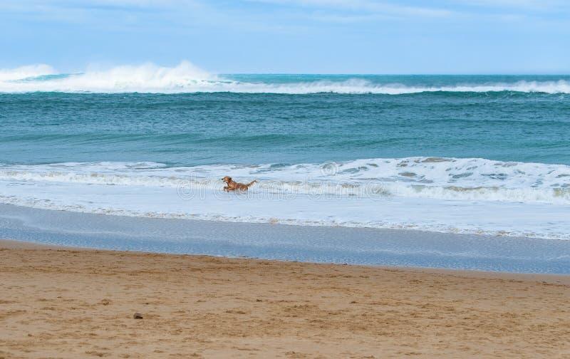 Funzionamento felice del cane lungo un bello mare del turchese della spiaggia sabbiosa fotografie stock